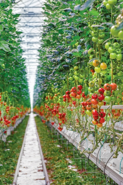 tomatoes growing on vines in greenhouse