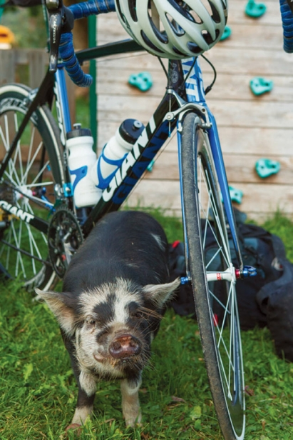 pig with bike